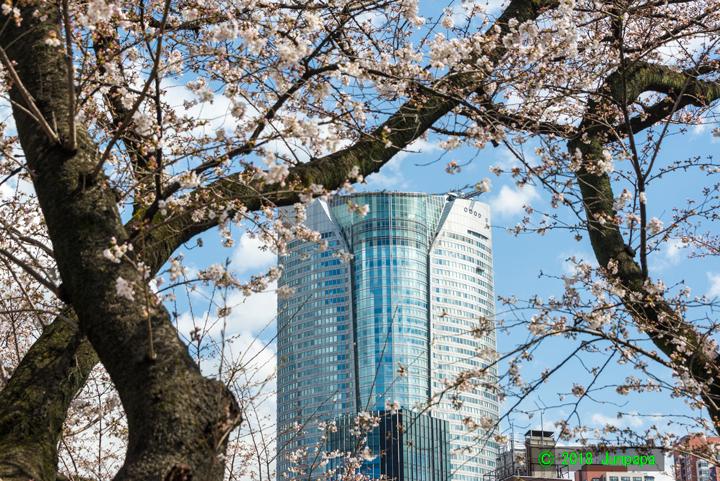 2018-桜 4.jpg